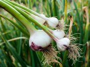 Ako sa postarať o cesnak na jar, aby bol veľký a nezožltol