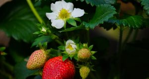 Ako sa postarať o jahody na jar, aby ste mali dobrú úrodu