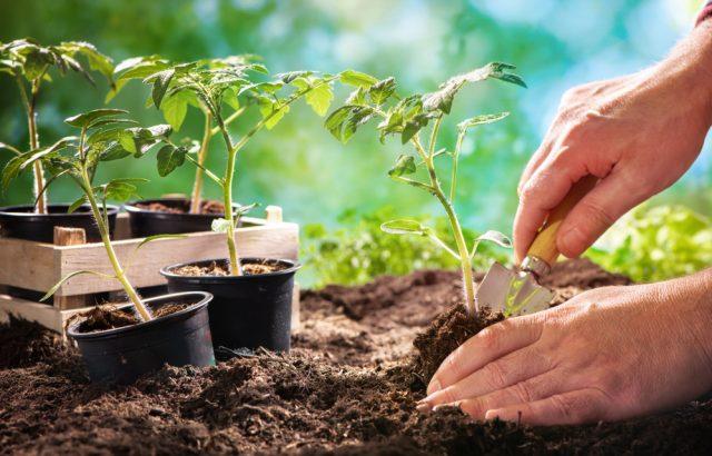 Pomoc záhradníkom: ako zachrániť sadenice paradajok pred vädnutím