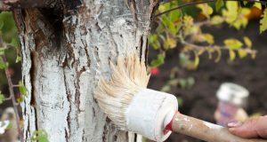 Bielenie stromov: kedy, ako a či je to vôbec potrebné
